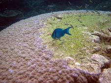 Free Blue Fish. Great Barrier Reef Stock Image - 36060921