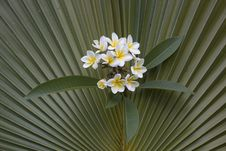 Free Frangipani On Fan Palm Background Royalty Free Stock Images - 36061999
