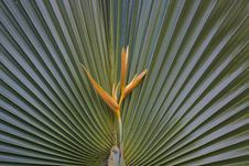 Free Yellow Heliconia On Fan Palm Royalty Free Stock Photo - 36062045