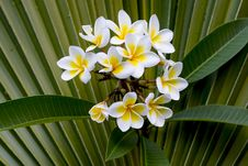 Free Close-up Frangipani Royalty Free Stock Photo - 36062125