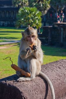 Free Monkey Eat Near The Angor Wat Temple Stock Photo - 36067610