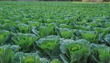 Free Green Vegetables Royalty Free Stock Image - 36068566