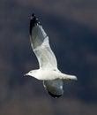 Free Gull Stock Photos - 36079073