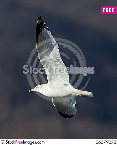 Free Gull Stock Photos - 36079073