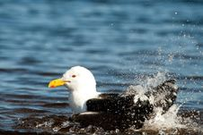 Free Seagull Splashing Royalty Free Stock Image - 36074196