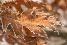 Free Frozen Leaf Royalty Free Stock Photography - 36074797