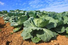 Free Cabbage Agriculture Fields Royalty Free Stock Photos - 36079848