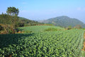 Free Cabbage Agriculture Fields Stock Image - 36080161