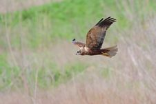 Western Marsh-harrier &x28;Circus Aeruginosus&x29;. Stock Photo