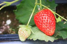 Free Organic Strawberries Field Royalty Free Stock Images - 36085119