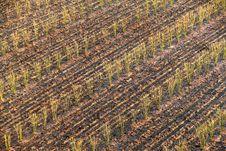Free Sugarcane Seedlings Stock Photo - 36085470