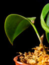 Free Flowers&x27; Bud Of Pleurothallis Modestissima Royalty Free Stock Images - 36092529