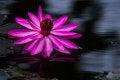 Free Purple Lotus Flower In Dark Water Stock Images - 36093294