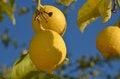 Free Lemon Tree Royalty Free Stock Photo - 36097935