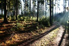 Free Coniferous Forest Stock Images - 36090344
