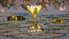 Free White Lotus, Green Leaves Lilly Royalty Free Stock Images - 36090989