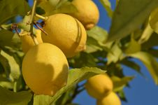 Free Lemon Tree Stock Photos - 36097853