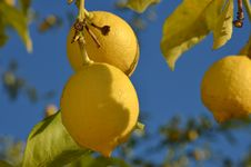 Free Lemon Tree Royalty Free Stock Photo - 36097935