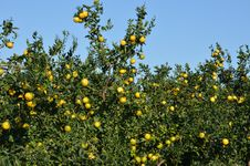 Free Mandarine Tree Stock Photography - 36098582