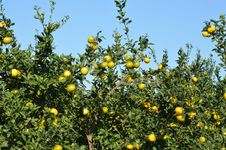 Free Mandarine Tree Stock Images - 36098624