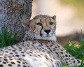 Free Cheetah Royalty Free Stock Images - 3611119