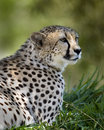 Free Cheetah Stock Images - 3611134