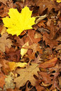Free Yellow Maple Leaf Royalty Free Stock Image - 3611506