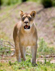 Free Lion Stock Photos - 3611303