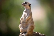 Free Meerkat Stock Image - 3611361