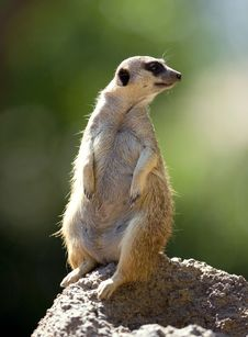 Free Meerkat Stock Photos - 3611363