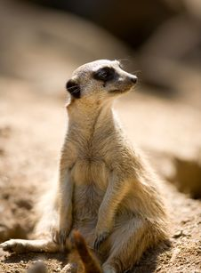 Free Meerkat Stock Photography - 3611372