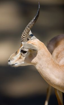 Free Gazelle Stock Photography - 3611382