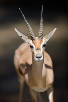 Free Gazelle Stock Images - 3611384
