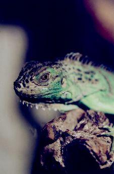 Free Iguana Royalty Free Stock Image - 3611916