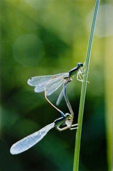 Dragonflies Royalty Free Stock Photos