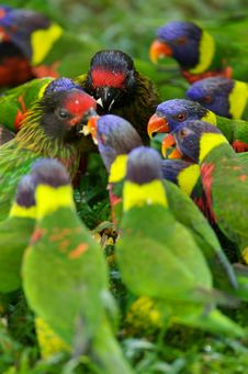 Free Rainbow Lorikeets Royalty Free Stock Images - 3613179