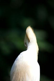 Free Cattle Egret Stock Photos - 3613223