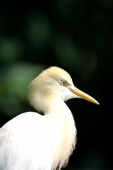 Free Cattle Egret Royalty Free Stock Image - 3613226