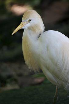 Free Cattle Egret Stock Images - 3613304
