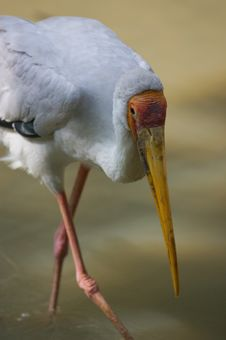Free Yellow Billed Stork Royalty Free Stock Photo - 3613425