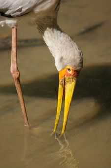 Free Yellow Billed Stork Royalty Free Stock Images - 3613439