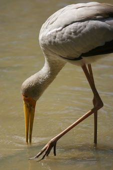 Free Yellow Billed Stork Royalty Free Stock Photos - 3613448