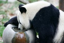 Free Giant Panda Royalty Free Stock Photography - 3614117