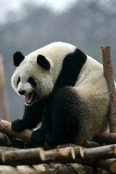Free Giant Panda Royalty Free Stock Photos - 3614138