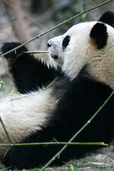 Free Giant Panda Royalty Free Stock Images - 3614179