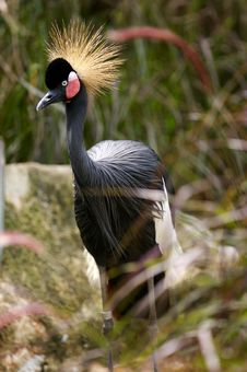 Free Black Crowned Crane Stock Photos - 3614293