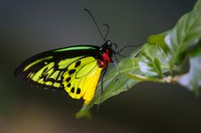 Free Butterfly Moth Royalty Free Stock Image - 3614296