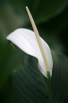 Free Arum Lilies Royalty Free Stock Images - 3614339