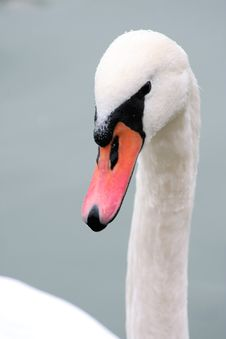 Mute Swan Head And Details Royalty Free Stock Images