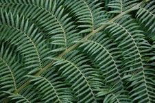 Free Fern Tree Royalty Free Stock Photography - 3614417